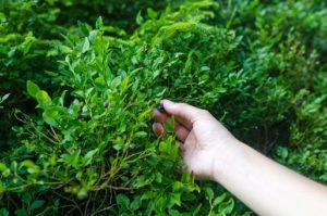 borovnica grm