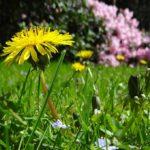 Regrat – zdravje na pomladnem krožniku