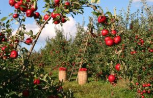 shujševalna dieta z jabolčnim kisom
