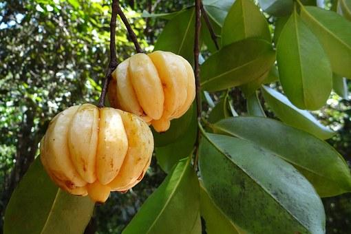 Hujšanje z Garcinia Cambogia