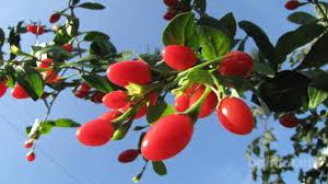 hujšanje z goji jagodami