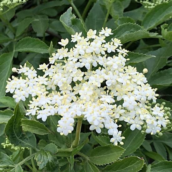 Bezeg – zdravilne lastnosti in recepti s cvetovi in jagodami